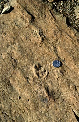 Imprints of Theropod, Karoo Basin South Africa