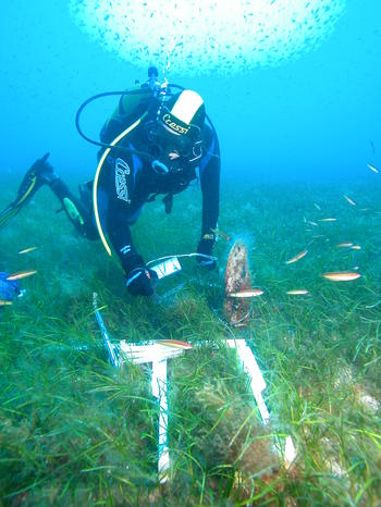 Measuring Pinna nobilis shell length in the Columbretes Islands. (Photo by D. Kersting)